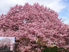 桃の節句はピンクの花園! 河津桜は満開・花盛り!