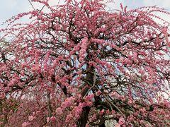 2014春、七分咲の枝垂れ梅(1/5):3月7日(1):名古屋市農業センター、枝垂れ梅の街路樹