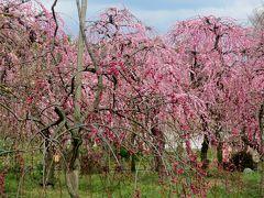 2014春、七分咲の枝垂れ梅(3/5):3月7日(3):名古屋市農業センター、緋の司・満月・緑咢・紅枝垂れ、ロウバイ