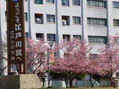 旧中川沿いで河津桜