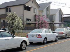 2013春、満開の名古屋市農業センターの枝垂れ梅(1/4):街路樹の枝垂れ梅