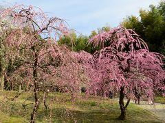 2013春、満開の名古屋市農業センターの枝垂れ梅(3/4)