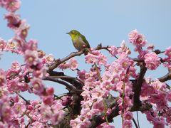 2013春、満開の名古屋市農業センターの枝垂れ梅(4/4)メジロ