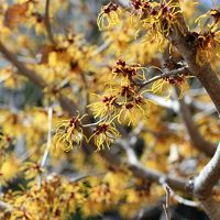 マクロレンズ一本で久しぶりに早春の智光山公園へ~満開のマンサクと美しい枝垂れ梅に舌鼓を打つ