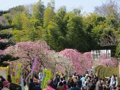 2014春、ほぼ満開の名古屋市農業センターの枝垂れ梅(1/5)