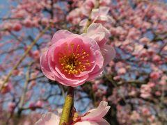 2014春、ほぼ満開の名古屋市農業センターの枝垂れ梅(2/5)