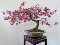 2014春、ほぼ満開の名古屋市農業センターの枝垂れ梅(5/5):盆栽展、梅、桜、木瓜
