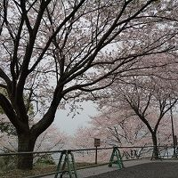 【桜の名所】水俣チェリーラインドライブ