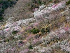 (思いがけず)早春の相模路をぶらりゆく旅【1】~4,000本の梅花が春を告げる…「2014 湯河原梅林・梅の宴」へ~