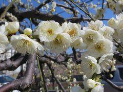 2014春、散り始めの名古屋市農業センターの枝垂れ梅(1/4)