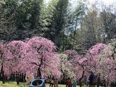 2014春、散り始めの名古屋市農業センターの枝垂れ梅(2/4)