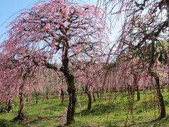 2014春、散り始めの名古屋市農業センターの枝垂れ梅(3/4)