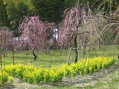 2013春、三分咲の名古屋市農業センターの枝垂れ梅(1/2)