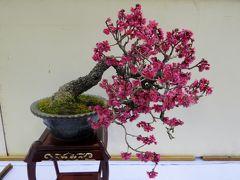 2013春、三分咲の名古屋市農業センターの枝垂れ梅(2/2):盆栽展、街路樹の枝垂れ梅