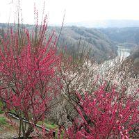奈良市の月ヶ瀬梅林で4、5分咲きの梅の花観賞。