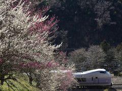 高尾梅郷に咲く紅白の梅の花を見に訪れてみた