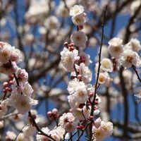 私って梅の追っかけ? 今度は佐倉城址公園の梅 2014 3月