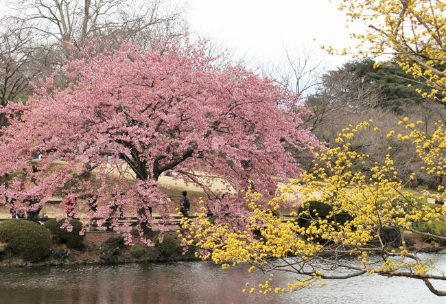 やっと寒さも和らいだ初春の日、東京に旅しました。<br />新宿御苑では早咲きの桜が満開で、一足早いお花見をしました。<br />中二日はいいお天気だったので富士山まで足を延ばしました。<br />素晴らしい富士に出会えて、一生の想い出となりました。<br />