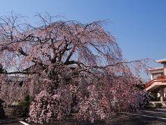 富士市・・・本妙寺の枝垂れ桜は満開でした。