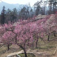 春の宝登山