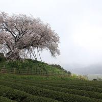 ~西九州三大さくら絵巻~佐賀「小城公園」・長崎「大村公園」・嬉野百年桜 日帰りの旅