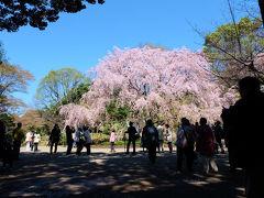 2014 六義園 庭園と桜 上 しだれ桜 編