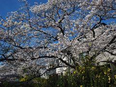 二ヶ領用水(武蔵小杉)の桜が満開 2014