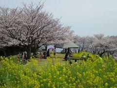 吾妻山公園の桜と菜の花