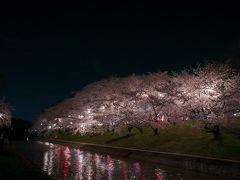 岡崎公園の夜桜