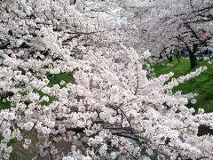 今が見頃。五条川の千本桜。