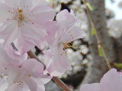 ゴキンジョ・桜♪