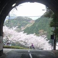 伊豆半島日帰り桜追っかけ(02) 西伊豆町黄金崎