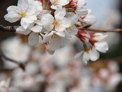 今年の背割堤の桜開花時期観察