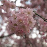 桜を求めて第2弾。ココのぼんぼり桜も満開でしたー。桜の樹の本数が多く見応えのある滝谷公園へ