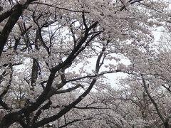 伊豆半島日帰り桜追っかけ(09) 伊豆高原の桜並木 下巻