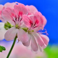 2014 花フェスタ記念公園(3)Pastel Flower Show