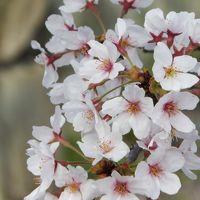 近場でちょこっと花見をしましょう♪ ~鹿嶋神社・市ノ池公園~