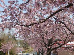 春爛漫の伊豆旅行♪ Vol5(第2日目) ☆伊豆高原 駅前は美しいオオカンザクラが満開♪