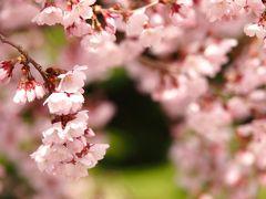 さあ!東北でも、いよいよ桜のシーズンが始まった!まずはコヒガンザクラから・・・。