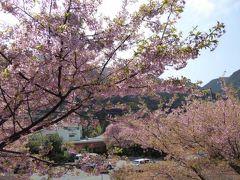 春爛漫の伊豆旅行♪ Vol6(第2日目) ☆河津七滝 咲き誇る河津桜と春の出合滝♪