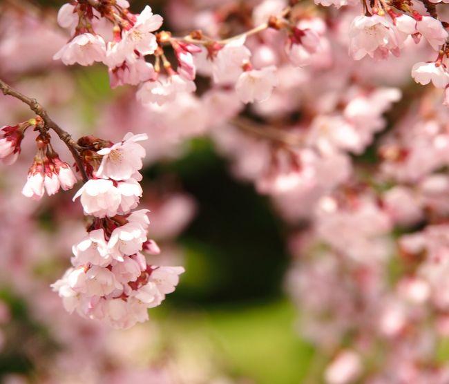 宮城県内で、一番早くソメイヨシノが咲く・・・と言われる白石城(白石市)で、昨日4日午後に、ついに待望の開花宣言!<br /><br />・・・といったところなので、ほんとうはソメイヨシノの咲き始めを真っ先に見に行きたい!ところなのだが、やっぱり満開近くになってから見たいよねぇ・・・(白石城は、すごく近所ってほどでもないので)。<br /><br />そこで、ソメイヨシノの満開が待ちきれない今日、ソメイヨシノよりもやや早く開花するコヒガンザクラが近場で咲いているのをローカルTVで見たので、早速出かけてみた。