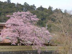 春爛漫の伊豆旅行♪ Vol8(第2日目) ☆修善寺温泉 早咲き桜を愛で歩く♪