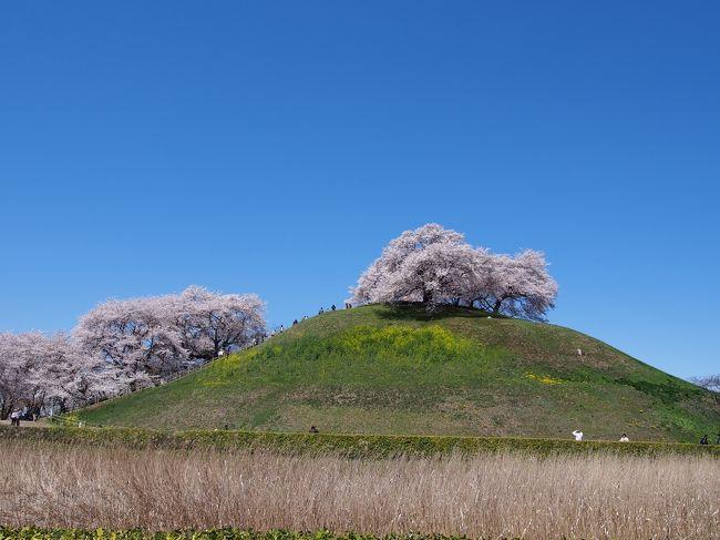2014年は桜が満開になったと同時に突風やら夕立ちやら立て続けに春の嵐が巻き起り、お花見に行く前に桜はボロボロ状態に・・・<br /><br />「都内の有名桜観賞地は厳しいな」と踏み、県内の北部に足を伸ばしてみることにしました。<br /><br />どうせなら桜以外にも観光できる場所・・・ということで、今回は映画『のぼうの城』の舞台にもなった埼玉県行田市に行って参りました。<br /><br />行田は県名の由来となった地で、古墳も多数ある古(いにしえ)の街なのです。<br /><br />