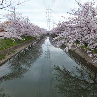 2日続けてお花見しちゃいました(*^_^*) ~鹿島川沿い~