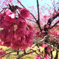 (2/2) 泉水と名石、緑と野鳥の庭園、 清澄庭園(きよすみていえん)で早咲き桜 カンヒ桜を楽しむ! 老舗洋食屋 「たいめいけん」 でランチ(日本橋) − 3月 2014年