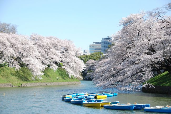 旅行初日はいきなりの嵐で行動範囲も限られてしまいましたが(&gt;_&lt;)<br />翌日は午前中までは強風は残ったものの、空はスッキリ青空、日差しも春そのものの明るさで嬉しい限り(^o^)<br /><br />母が東京でやりたかったこと<br />1、スカイツリーに昇る。<br />2、皇居を見る。<br />3、はとバスに乗る。<br />4、この時期だったらどこかでお花見。<br />5、浅草寺に行く。<br />6、隅田川の川下り。<br />のうちの1~4はこの1日に詰め込まれています。<br />(実際には3ははとバスではなくスカイバスにしたけれど)<br /><br />青空の下の満開の桜に<br />ぼんやりでしたが富士山まで見渡せた圧巻の展望のスカイツリー。<br /><br />そんな大満喫の旅行中日の様子です(^o^)
