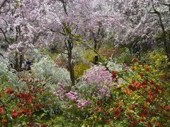 おしどり夫婦の京都 知る人ぞ知る 原谷苑のしだれ桜