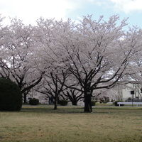 Cherry Blossom Festival at U.S. Army Camp ZamaへGoGo! と、あと少々。