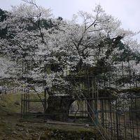 1本の桜に会いに~樹齢千年 樽見の大ザクラ