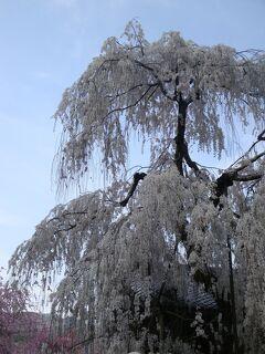 満開の一本桜を訪ね・・・・・又兵衛桜と大野寺しだれ桜